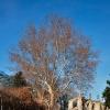 Platanus X Acerifolia  1/4