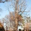 Ailanthus Altissima  1/4