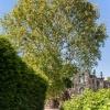 Platanus X Acerifolia  2/4