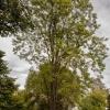 Ailanthus Altissima  2/4