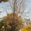 Ailanthus Altissima  3/4