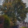 Platanus X Acerifolia  3/4