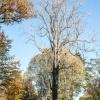 Ailanthus Altissima  4/4