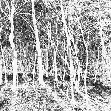 White Wood - Bosco Bianco